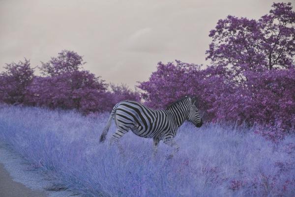 Digi try Zebra